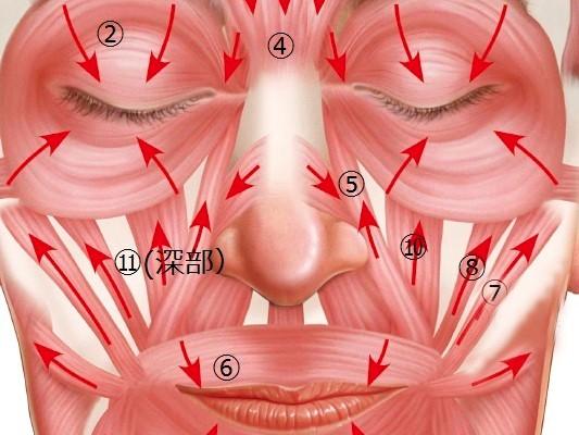 1-9-1ほうれい線は表情筋の影響を受ける