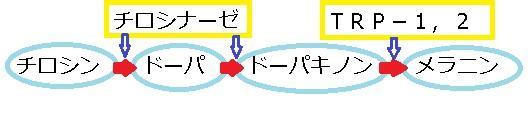 メラニン 酵素反応