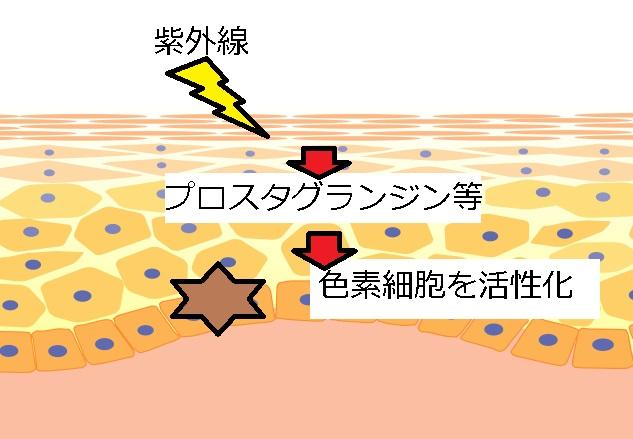 紫外線が色素細胞を活性化